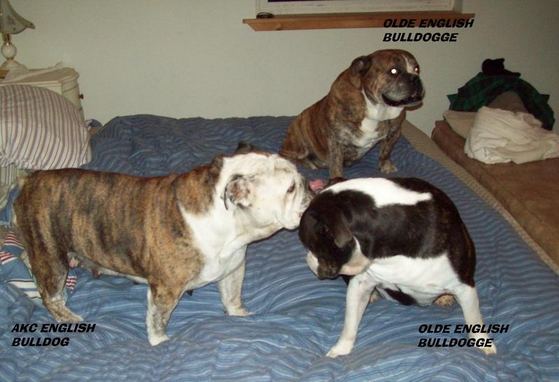 AKC English Bulldog IOEBA -CKC Olde English Bulldogge