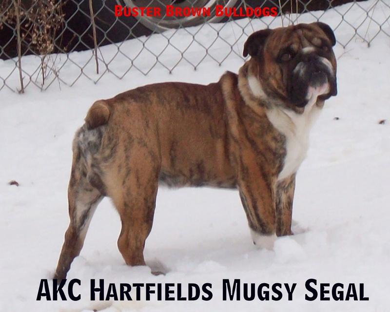 Brown olde english bulldogge puppies - photo#16